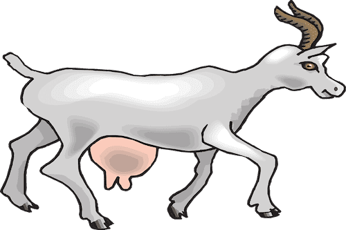 Goat showing breast